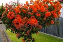 Dwarf red flowering gum trees