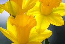 Daffodils / Because they're my favorite flowers