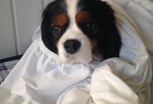Cavalier king Charles spaniel / My dog ; Trico