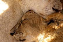 0 Lion