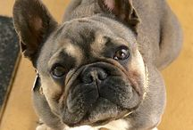 Want Frenchie