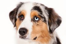 Miniature American Shepherd / Small size herding dog, developed in the United States.  This is a highly versatile, energetic dog, an athlete with superior intelligence and a willingness to please those to whom he is devoted.