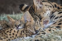 Servals