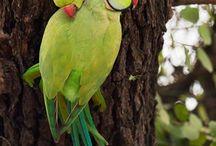 Indian parrot