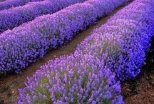Lavender Hill / Lavender, sweet lavender; come and buy my lavender. Hide it in your trousseau, lady fair. Let its lovely fragrance flow over you from head to toe, lightening on your eyes, your cheek, your hair. Cumberland Clark Flower Song Book 1929