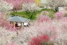 Prunus sakura 桜