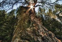 Monumental Trees