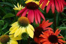 Cone Flowers / by Liz C