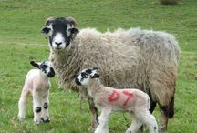 Counting Sheep / Love sheep? So do we! Philip Walling's book explores all things #sheep  http://bit.ly/N3aoEP