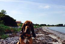 My bloodhound / My pet