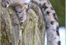 ирбис и леопард большие кошки