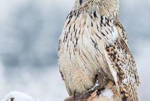 Gufi/Owls
