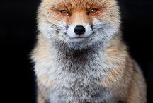 Foxes / Because everyone needs a little happy.