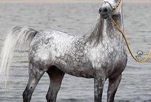 #ROYAL HORSE#