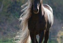 zv kůň