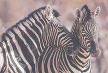 zebra faces