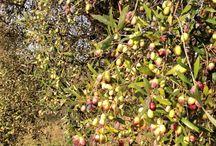 Olio D'oliva extravergine / Olives oil in Sabina, Montelibretti