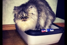 Persian Cat - Tusse with friends. / Pictures of my cat Tusse, and many some others.