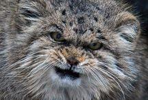 Manul de PallasAhah / Chat sauvage quasi menacé que l'on trouve dans les prairies et les steppes montagneuses de l'Asie centrale, plus communément connu comme le chat de Pallas. Il mesure entre 50 et65cmde long sans compter sa queue de 21 à31cm et vit jusqu'à 5000 mètres d'altitude, dans un environnement épargné par les infections virales auxquelles il est extrêmement sensible. Près de 44,9% de mortalité dans les nouvelles portées en captivité ont été recensés.