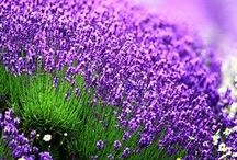My lavender fields
