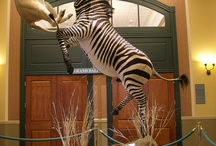 Mounts / awesome taxidermy...works of art / by Christi Renner