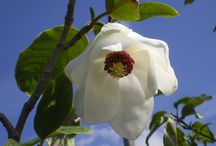 Marvellous Magnolia / Some fantastic flower colour available in our stock range