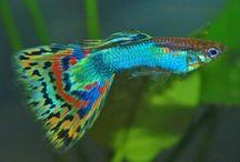 lepistes / fish