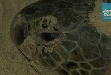Film: Havssköldpaddor - Jambo Tours / Havssköldpaddor. Selingan Island är en forskningsstation som bara ligger en kort båttur från Sandakan på Borneo. Här är det havssköldpaddans bästa som gäller. Som mänskliga besökare blir vi sekundära - vilket verkligen skapar känslan av Resor på riktigt. Se vår rundresa i Malaysia på: http://www.jambotours.se/resa/malaysia-fran-ost-till-vast-2/