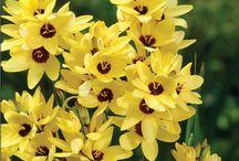 Ixia virágok