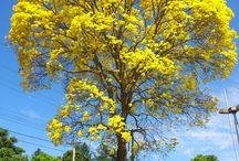 Flowers from Goiania, Goias, Brazil / Some flowers found in my town!