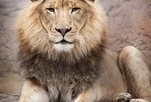 Lions / Leijonat