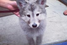Wolf Dog / Half Wolf, Half Dog. And puppies. People keep saying I can't have one and I SAY I CAN! (some are maybe huskies or something non-wolf but still wolf-like) / by Justin Pocta