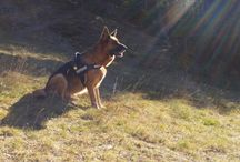 german  shepherd Kora