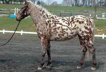 Appaloosa Horses / Coloured Horses