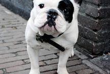 franch bulldog