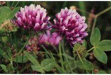 # 1 Edible & Healing BC Plants