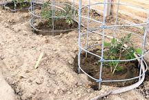 tomato caged