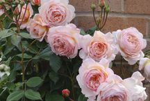 David Austin roses & other notorious