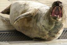 Zeehonden: Nederlands' grootste roofdieren