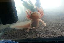 Axolotls!