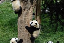 PANDAS / The cutest animals ever