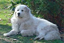 Great Pyrenees / Such gentle giants!  One of my very best friends was a Great Pyrenees!  His picture is included on this board and is the cover photo!  Just look for Brutus!  =)