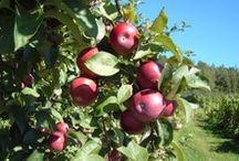 Verger Antoine et Germaine Tanguay / Le Verger Germaine et Antoine Tanguay est une entreprise pomicole qui offre l'autocueillette en saison et plusieurs produits dérivés de la pomme.