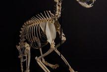 Skaller etc. / Diversity, shapes, ossification