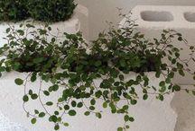 a foliage plant (観葉植物) / 家の中に緑があると癒されるよなぁ〜