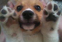 My Corgi!!...MINE