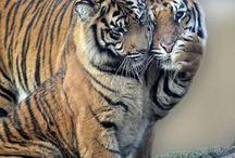 Tigres e gatos