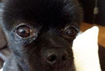 MoMo / Black n white Pomeranian