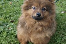 German spitz cross