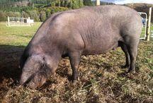 Large Black Hogs